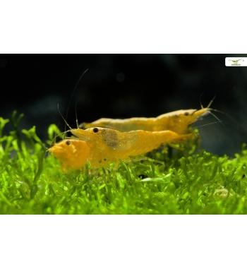 Neo Caridina Yellow Fire
