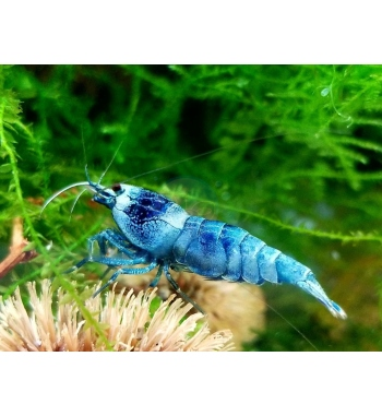 Neo Caridina Blue Bolt