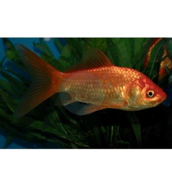 Carassius auratus Pesce rosso comune