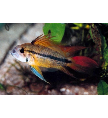 "Apistogramma cacatuoides ""Red-Flash"""