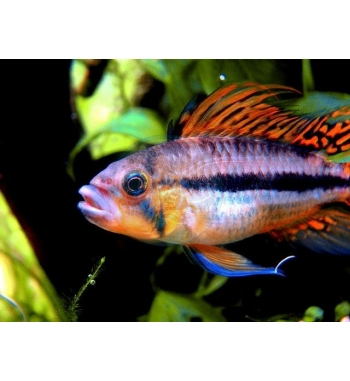 "Apistogramma cacatuoides ""Triple Red"""