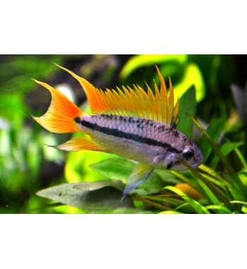 Apistogramma cacatuoides Double Orange