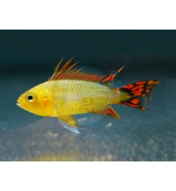 Apistogramma cacatuoides Gold Orange