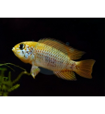 Apistogramma sp.Red-Point II.