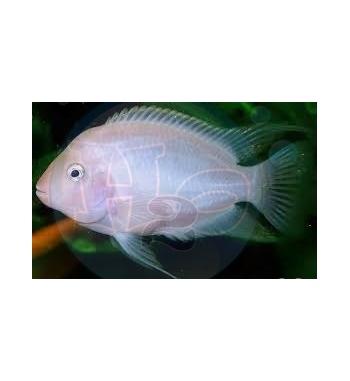Cichlasoma nigrofasciatus Albino