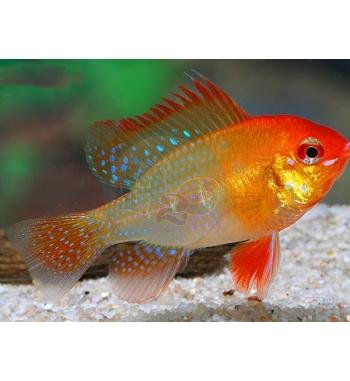 Papiliochromis ramirezi Gold-Red