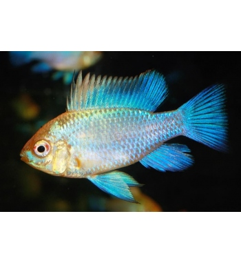 Papiliochromis ramirezi Neon Blue