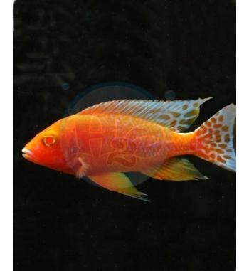 Aulonocara Fire Fish Albino