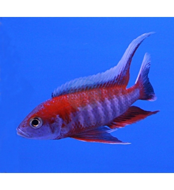 Aulonocara jacobfreibergi Red Flame