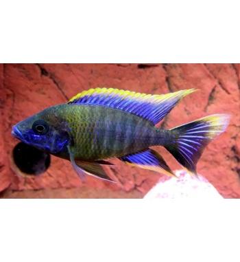 "Aulonocara Lwanda ""Hai Reef"""
