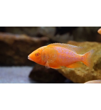 Aulonocara sp.Red albino
