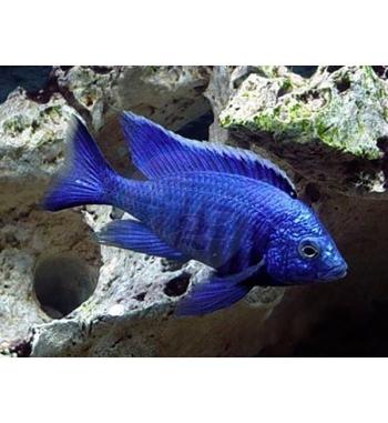 Copadichromis sp.Blue Neon
