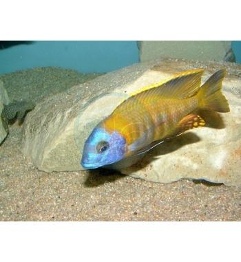 Copadichromis sp.Tanzania Yellow Fin