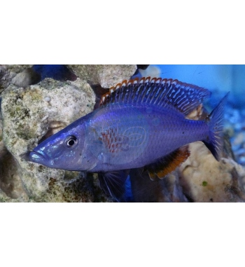 Haplochromis compressiceps Red Top
