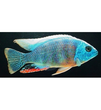 Haplochromis fenestratus Taiwan Reef