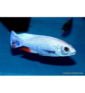"Haplochromis fryeri ""Iceberg"""