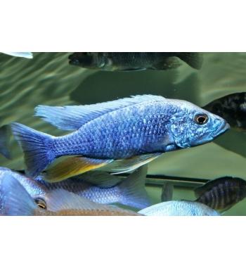 """Haplochromis fryeri """"Maleri Island"""""""