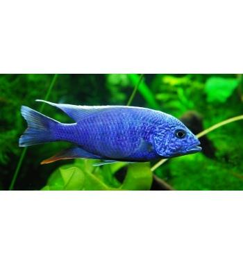 Haplochromis jacksoni ahli