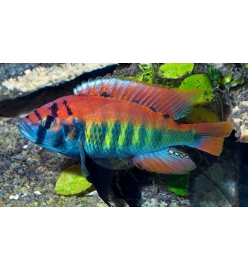 """Haplochromis nyererei """"Ruti Island"""""""
