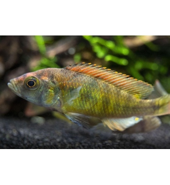 "Haplochromis nyererei ""Red head"""