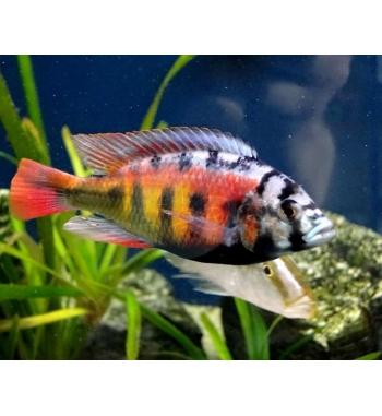 """Haplochromis sp.""""Crimson Tide"""""""
