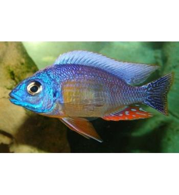 "Haplochromis sp.""Taiwan Reef"""