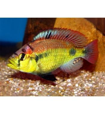 Haplochromis Yellow Belly