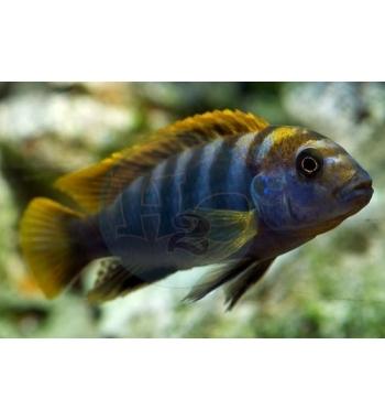 "Labidochromis ""Mbamba bay"" yellow fin"