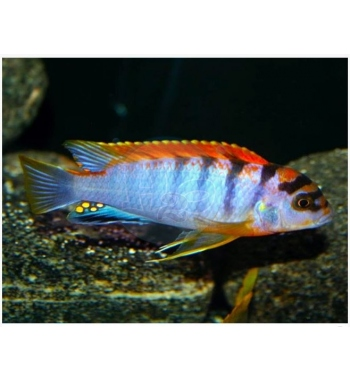 Labidochromis hongi Kimpuma Red Top