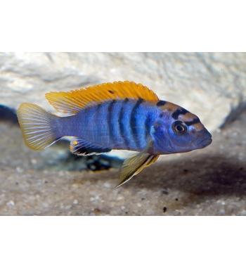 Labidochromis hongi Lipingo