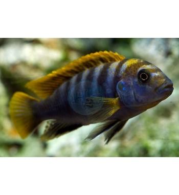 Labidochromis sp.Mbamba