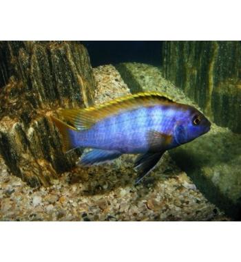 "Labidochromis sp.Mbamba ""Chuwa"""