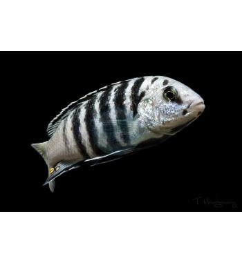 Labidochromis sp. Nkali