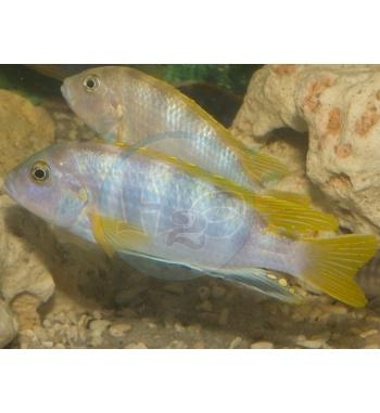 Labidochromis sp. Perlmutt Rhoadessi