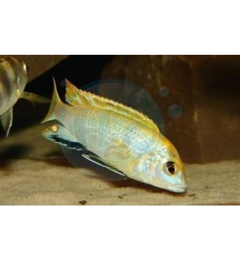 Labidochromis sp.Perlmutt