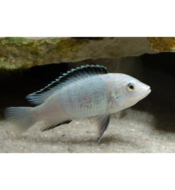 Labidochromis sp.White
