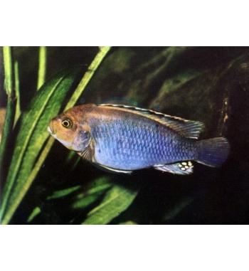 Melanochromis brevis Red