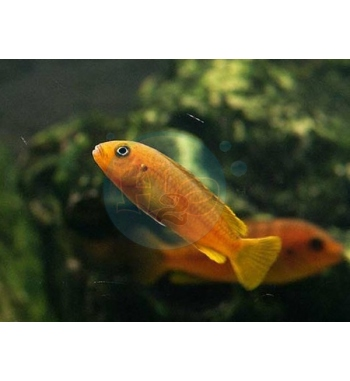 Melanochromis johanni Red