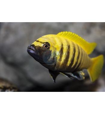 "Metriaclima sp. Zebra Gold ""Kawanga"""