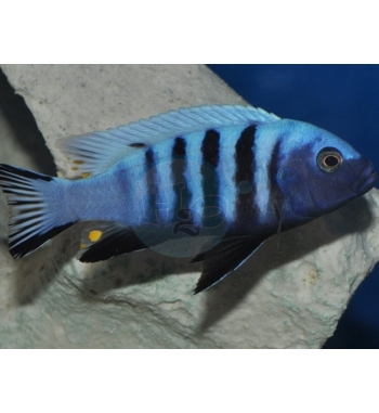 Pseudotropheus Kingsizei Blue Gold