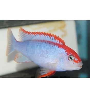 Pseudotropheus Red Top Ndumbi