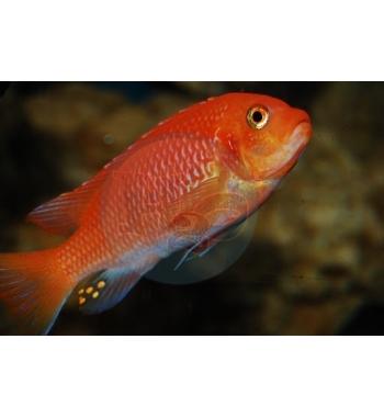 Pseudotropheus saulosi Red Coral