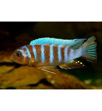 Pseudotropheus sp.zebra