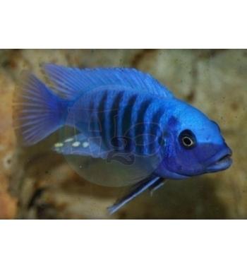 Pseudotropheus zebra Blue+Blue