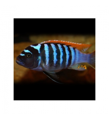 Pseudotropheus zebra Red+Blue