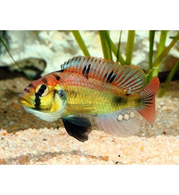 "Astatotilapia aeneocolor ""Yellow Belly"""