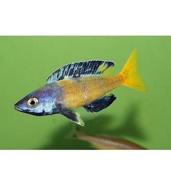 "Cyprichromis ""Speckleback Moba"""
