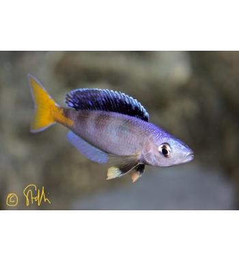 Cyprichromis leptosoma Blue Flash