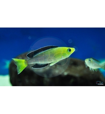 Cyprichromis leptosoma Kekese