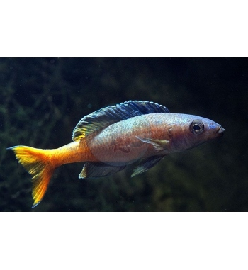 Cyprichromis leptosoma Orange Tail